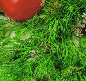Тмин Зира - популярная пряно-ароматическая культура, по внешнему виду похожа на тмин. Это одно-двулетнее растение семейства Зонтичные. Может зимовать в открытом грунте. Молодые листья зиры используют