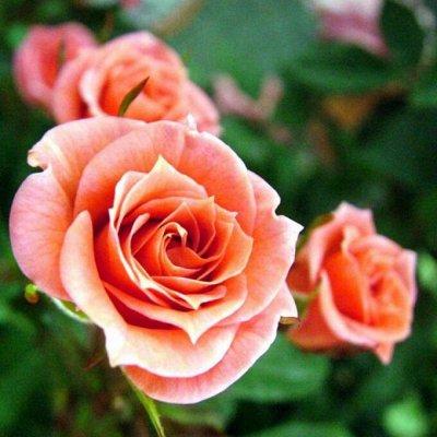 Профессиональные семена редиса! — Саженцы Роз — Декоративноцветущие