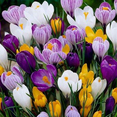 Цветущие саженцы в наличии! Идеальное качество! — Семена разных производителей — Семена
