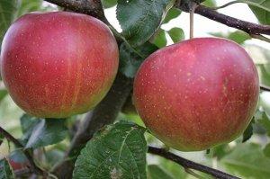 Яблоня Надежное