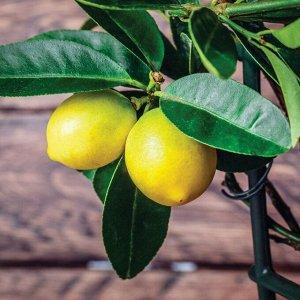 Лимон Диаметр горшка: 9 см Высота примерно 35 см  Второе фото реальное:) Это очень хорошее предложение! Обычно цена на цитрусовые начинается от 2000! Цитрус 🍋 Лимон подойдет для озеленения интерьера.