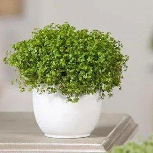 Солейролия Диаметр горшка: 13 см Высота примерно 20 см  Солейролия известна еще под другими именами — Гелксина и Хелксина (Helxine). Это почвопокровное многолетнее травянистое растение. Любит во всем
