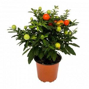 Соланум Диаметр горшка: 13 см Высота примерно 23 см  😊 Паслен комнатный или соланум .... Наибольшей популярностью пользуются карликовые формы данного домашнего растения. В высоту они достигают не боле