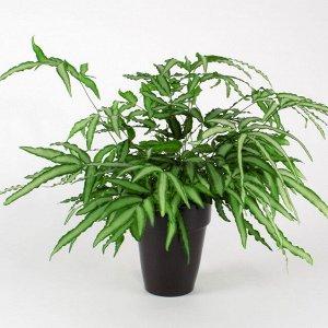 Птерис Диаметр горшка: 7 см Высота примерно 20 см  Птерис (Pteris) – орляк обыкновенный, ленточный папоротник или настольный папоротник – настолько изысканное растение, что создаётся впечатление его к