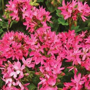Цветы Пеларгония Квантум F1, смесь (5шт)