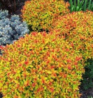 Голдфлейм Спирея «Голдфлейм» представляет собой кустарник, родиной которого является Япония. За быстрый рост и длительный период цветения растение понравилось многим садоводом. Красота цветов широко и