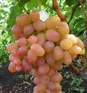 Виноград столовый ЛИВИЯ