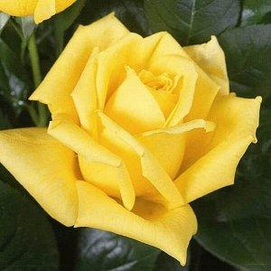 Роза (чайно-гибридная) - Беролина