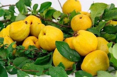 Саженцы- вашей мечты🌿 В пути — Айва: — Плодово-ягодные