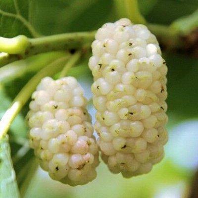 Саженцы- вашей мечты🌿 В пути — Шелковица: — Плодово-ягодные
