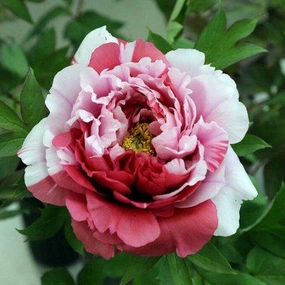 Саженцы- вашей мечты🌿 В пути — Пион древовидный двухцветный (привитый на пион травянистый) — Плодово-ягодные