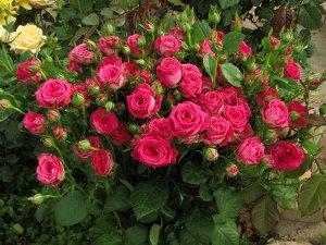Роза бордюрная спрей-фларибунда «Глориус» Rose