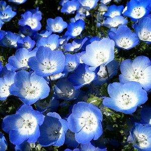 Цветы Немофила Бейби блу айз (0,3г)