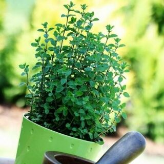 Товары на любой вкус и кошелек Актуальное наличие — ПРЯНО-АРОМАТИЧЕСКИЕ, лекарственные, Микрозелень — Семена зелени и пряных трав