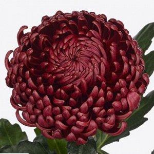 Хризантема Bigoudi Red