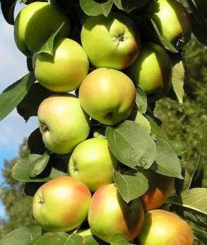 Яблоня колонновидная Гирлянда (Код: 1042)