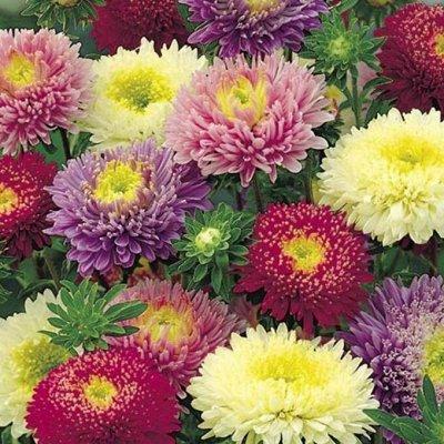 2000 видов семян для посадки! Подкормки, удобрения.   — Цветы однолетние Астры — Семена однолетние