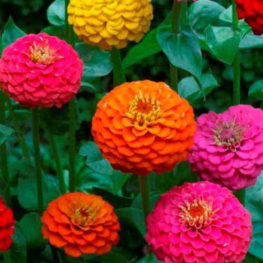 2000 видов семян для посадки! Подкормки, удобрения.   — Цветы однолетние Циния — Семена однолетние