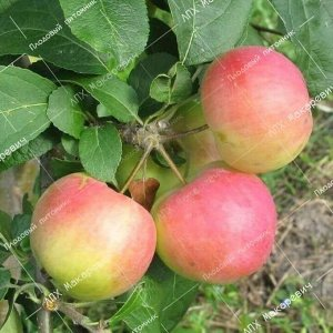 Яблоня Заветное (2-х летний саженец )