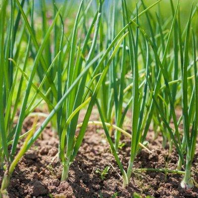 Ликвидация склада: Клубника на доращивание и др цветы — Лук на зелень — Семена овощей