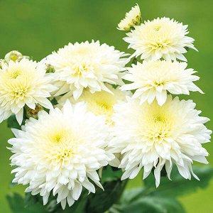 Хризантема Gompie White