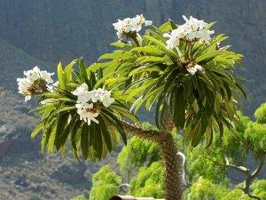 Пахиподиум Ламера или Мадагаскарская пальма