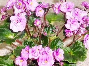 Фиалка Трейлер стандарт, кустовой. Яркие, махровые розово-сиреневые цветы на высоких цветоносах плотно собраны в букет. Яркая гёрл-листва.Обильное, раннее, яркое цветение.