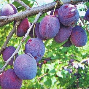 Слива Этюд / клоновый подвой (С10)Prunus