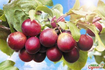 Саженцы- вашей мечты🌿 В пути — Чернослив. — Плодово-ягодные