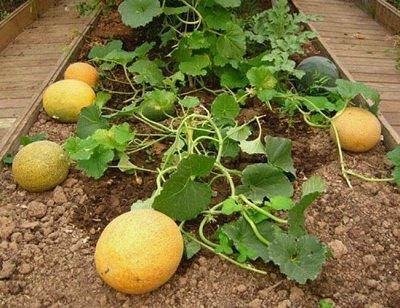 Семена агрофирмы Марс! Готовимся к дачному сезону! НАЛИЧИЕ — Арбуз, Дыня — Семена овощей