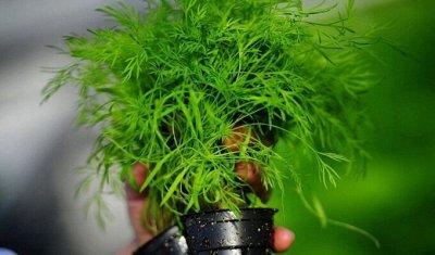 Семена агрофирмы Марс! Готовимся к дачному сезону! НАЛИЧИЕ — Петрушка, Укроп, Базилик — Семена зелени и пряных трав