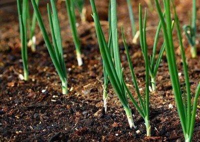 Семена агрофирмы Марс! Готовимся к дачному сезону! НАЛИЧИЕ — Лук — Семена овощей