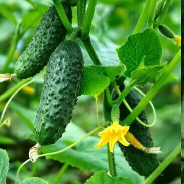 Семена агрофирмы Марс! Готовимся к дачному сезону! НАЛИЧИЕ — Огурец — Семена овощей