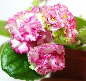 Фиалка . Махровые розовидные белые цветы с ярко - малиновым краем. Светло - зелёные заостренные слегка волнистые листья. Стандарт. (Описание автора).