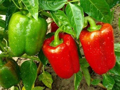 Семена агрофирмы Марс! Готовимся к дачному сезону! НАЛИЧИЕ — Перцы сладкие и острые — Семена овощей