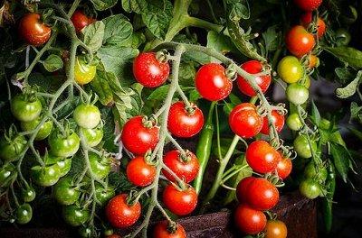 Семена агрофирмы Марс! Готовимся к дачному сезону! НАЛИЧИЕ — Томаты — Семена овощей