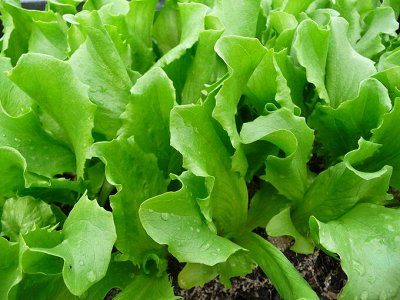 Семена агрофирмы Марс! Готовимся к дачному сезону! НАЛИЧИЕ — Салат — Семена овощей