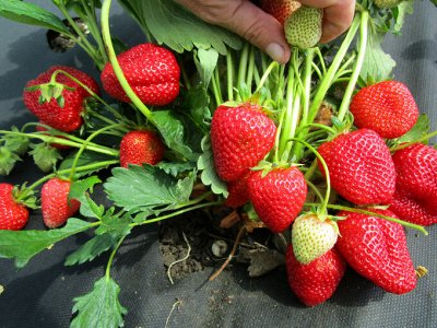 Подготовка к Дачному сезону🏡Семена овощей и цветов от 3руб   — Земляника и Ягоды — Семена ягод