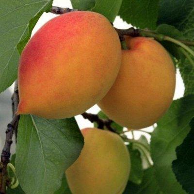 Саженцы- вашей мечты🌿 В пути — Абрикос — Плодово-ягодные