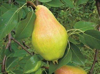 Саженцы- вашей мечты🌿 В пути — Груша — Плодово-ягодные