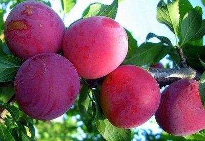 Саженцы- вашей мечты🌿 В пути — Слива — Плодово-ягодные
