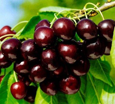 Саженцы- вашей мечты🌿 В пути — Черешня — Плодово-ягодные