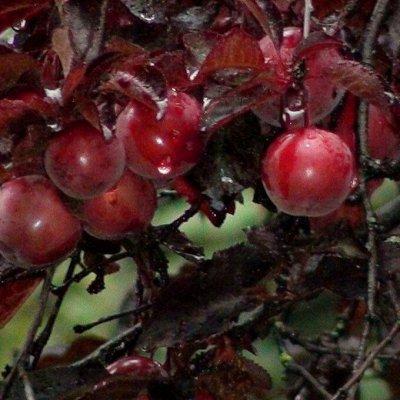 Саженцы- вашей мечты🌿 В пути — Персик. — Плодово-ягодные