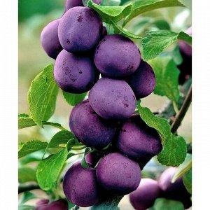 Слива русская (Алыча) пирамидальная Блю Свит (С10)Prunus