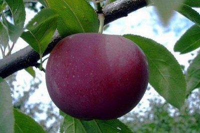 Саженцы- вашей мечты🌿 В пути — Шарафуга. — Плодово-ягодные