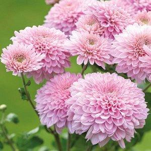 Хризантема Gompie Pink