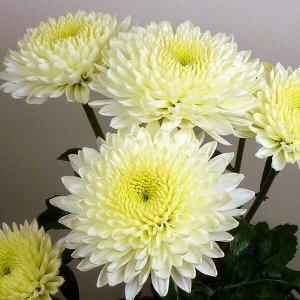 Хризантема Minstreel White