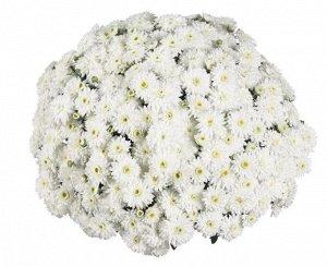 Хризантема Calm White