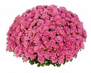 Хризантема Ditto Dark Pink