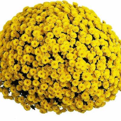 Многолетники для сада — скидки на все — Мультифлоры - шикарные шарики